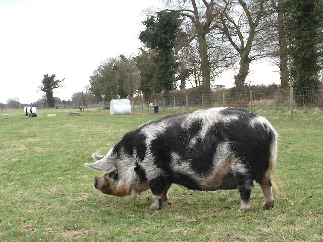 Foraging pig in pasture