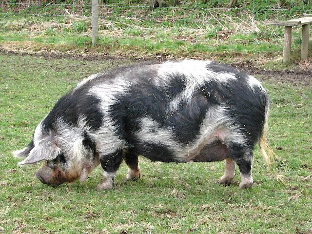 black teacup pigs full grown