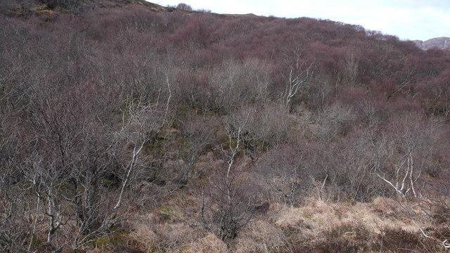 Sonachan birchwood