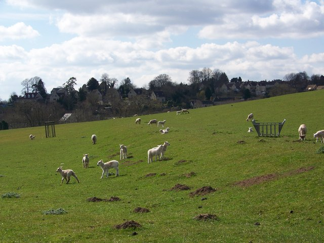 Ewes and lambs, Place Farm