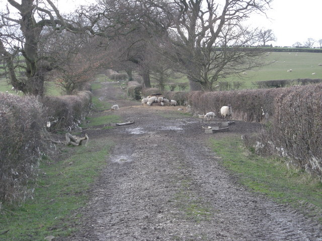 Bridleway with Sheep