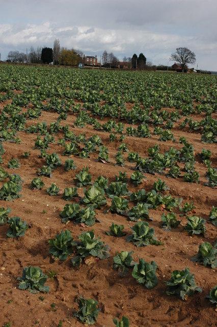 Cabbages at Pensham Fields Farm