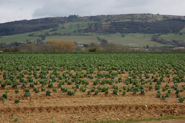 Field of cabbages at Pensham