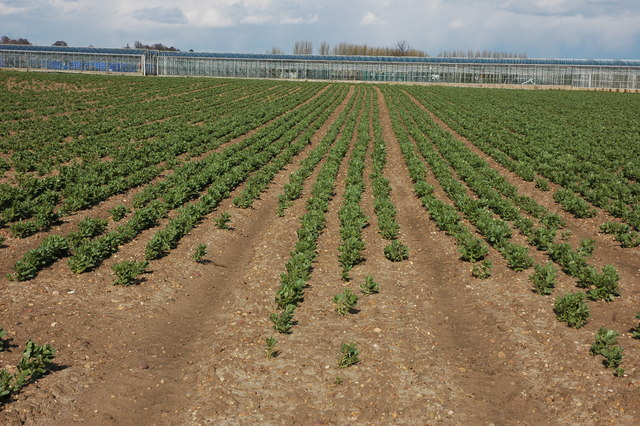 Broad beans, Pensham Fields Farm