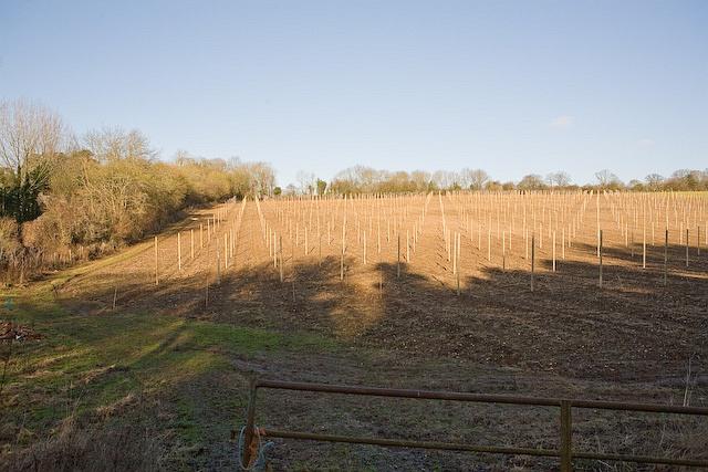 New planting on Lower Baybridge Lane, Owslebury
