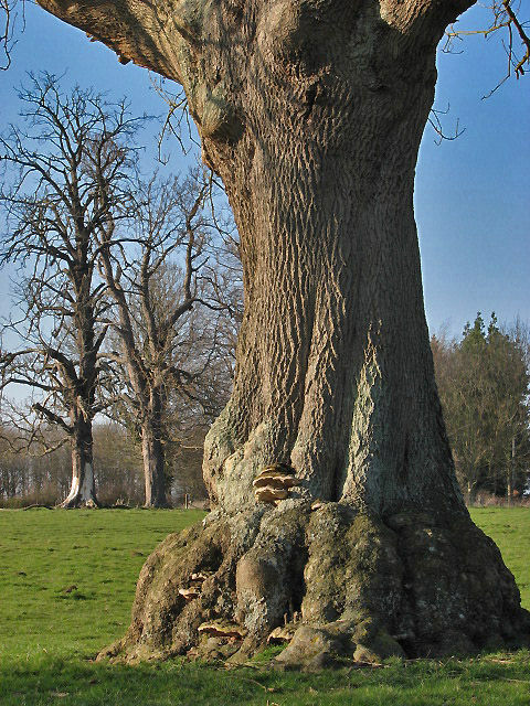 Veteran trees