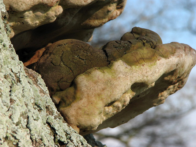 Bracket fungi on oak tree