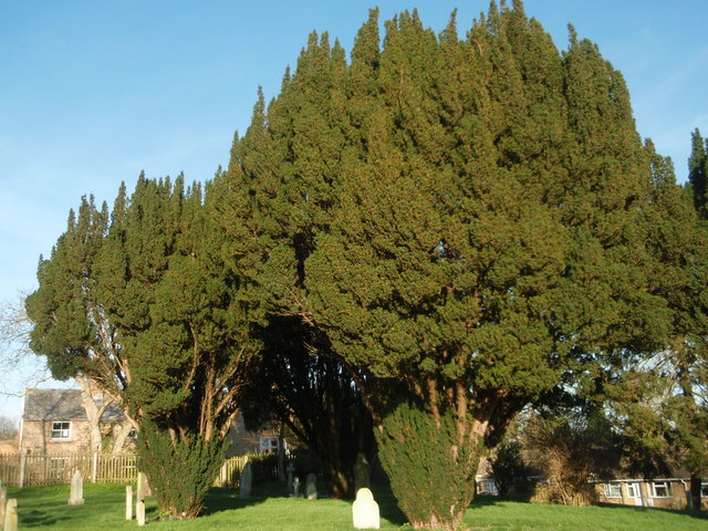 Yew trees in the churchyard