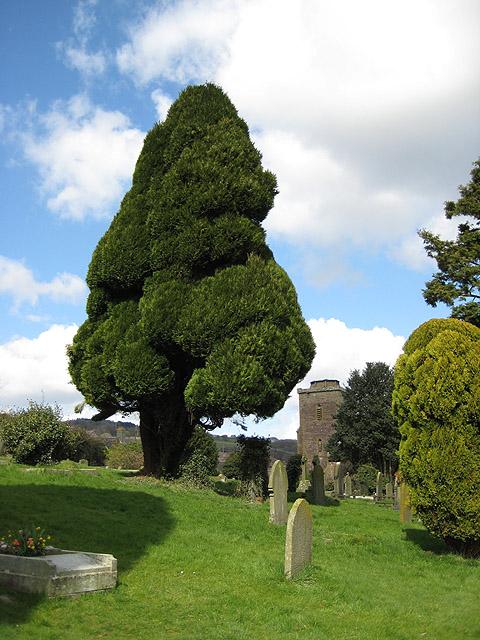 Fine-looking trees, St. Ethelbert's churchyard, Littledean