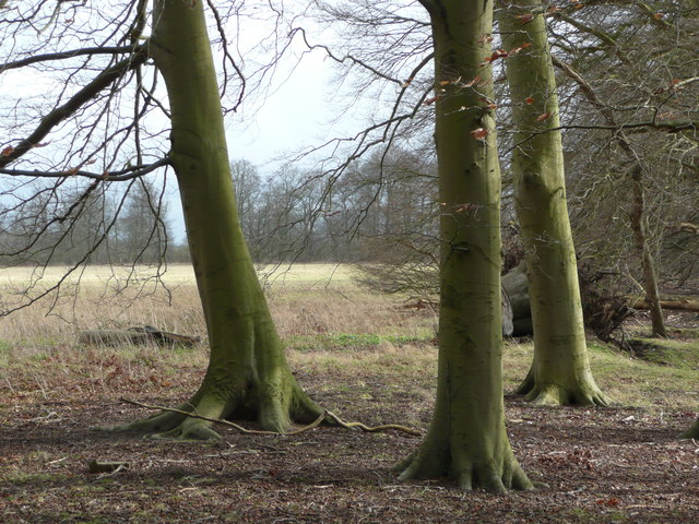 Beech trunks
