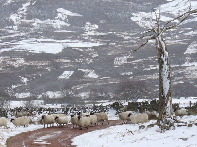 Sheep in Upper Feughside