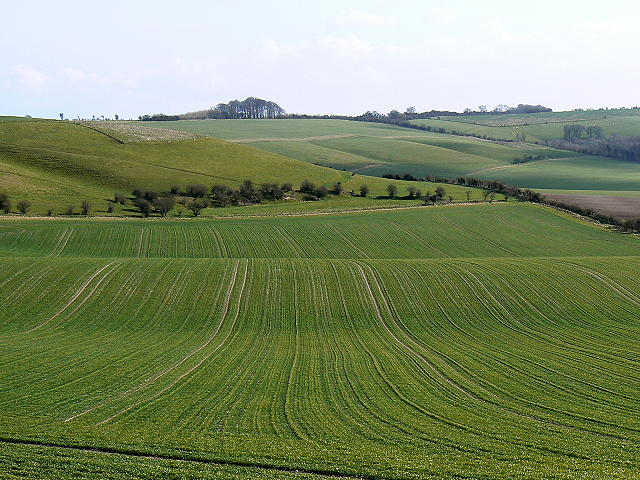 Immature cereal crop, near Liddington Hill