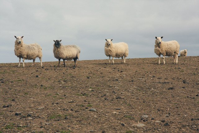 Sheep at Morfa Mawr Farm