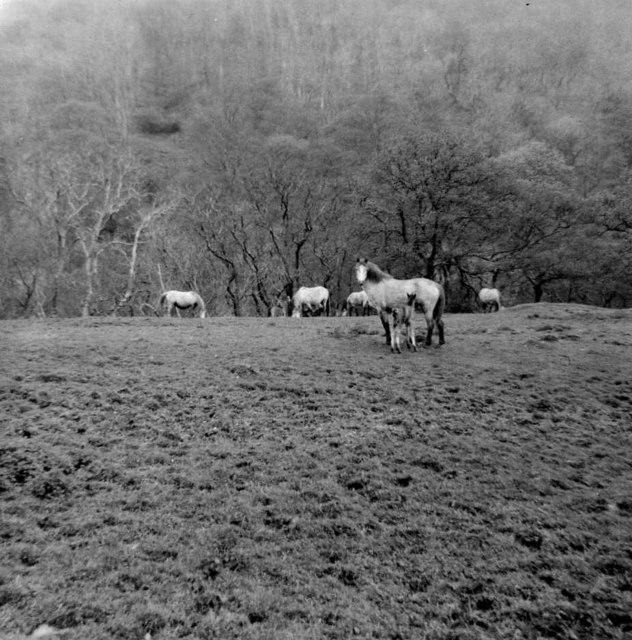 Wild Ponies near Aber Falls, Gwynedd, taken 1965