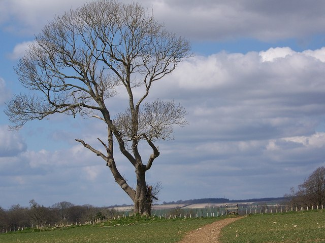 Lonely ash and new hedge near Fonthill Lake