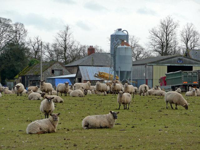 Sheep at North Farm