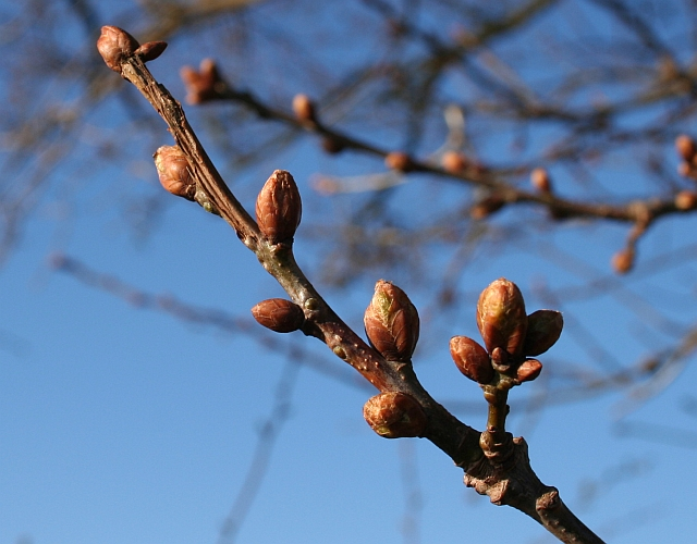 Oak Buds Swelling