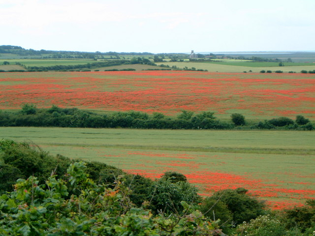 Poppies in fields near Kelling