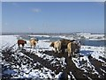 SJ9403 : Bullocks feeding at Manor Farm, Essington by John M