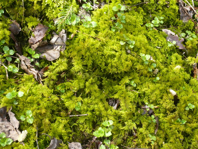 Great Shacklow Wood - Mosses on the ground next to the footpath