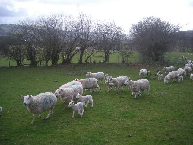 Ewes and lambs near Parcneuadd