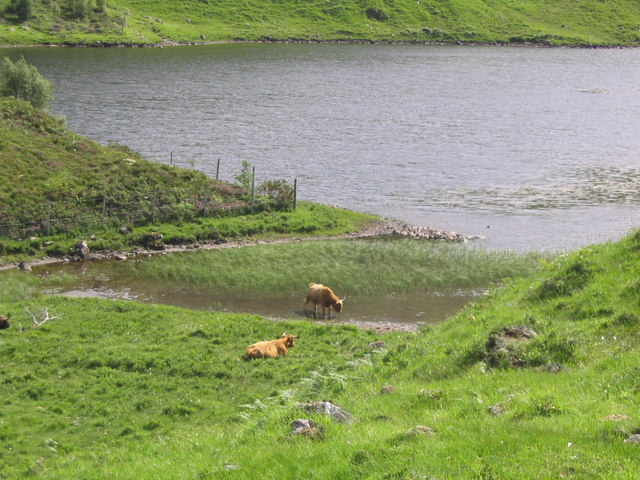 Cattle graze beside Loch na Leitreach
