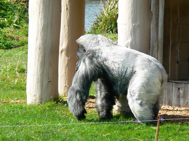 Nico the Gorilla, Gorilla Island, Longleat Safari Park, Wiltshire