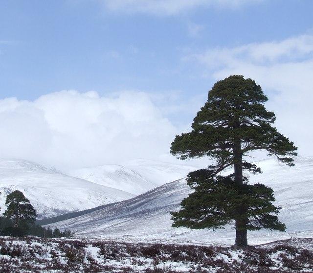 Scots pine in Glen Lui