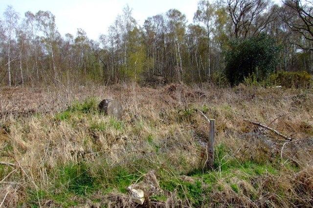 Birches beyond scrub