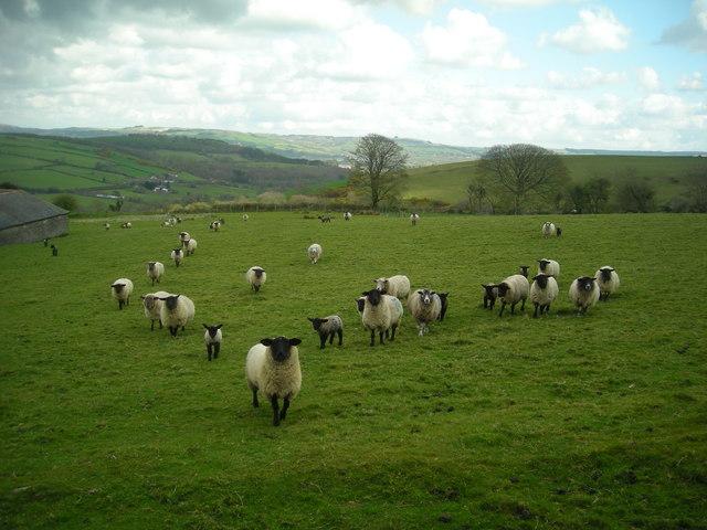 Sheep at Berthlwyd Farm