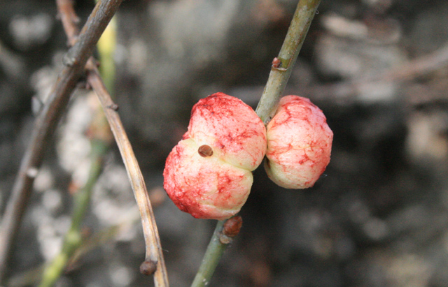 Galls on Oak Stem