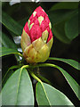 TG0633 : Budding rhododendron : Week 18