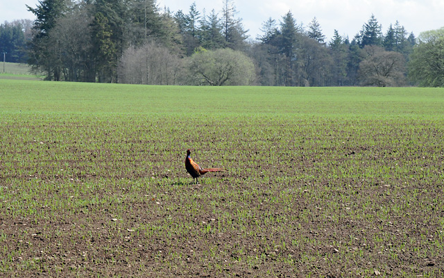 Pheasant on Farmland