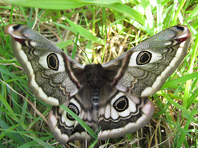 Female Emperor Moth