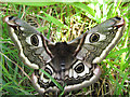 TM1923 : Female Emperor Moth : Week 18
