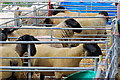 SH2939 : Defaid Suffolk Sioe Nefyn Suffolk Sheep : Week 18