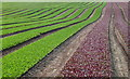 SY7891 : Lettuce Fields at Clyffe Farm by Nigel Mykura