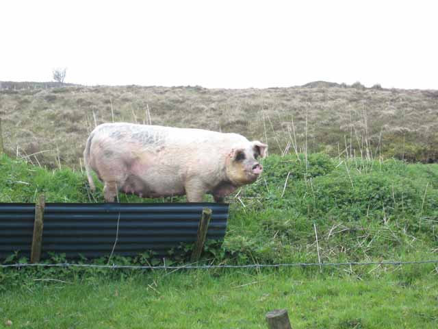 A fine porker at Aghabehy