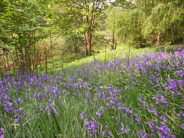 Bluebells at Moses Gate Country Park