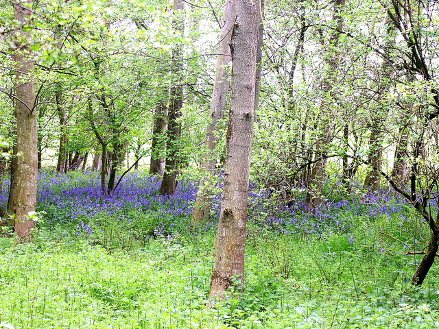 Bluebells in wood at Whitelee