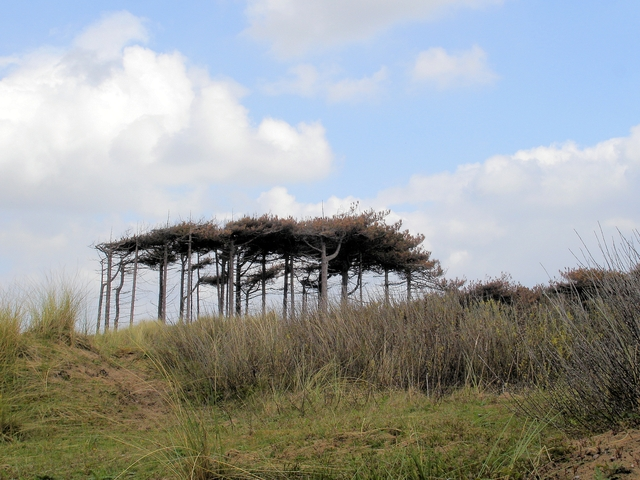 Scots pines at Formby NT reserve