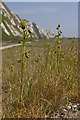 TR2838 : Early Spider Orchids at Samphire Hoe by Ian Capper