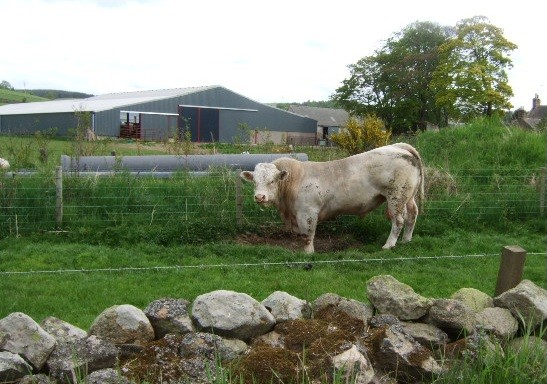 Bull by old Deeside Railway
