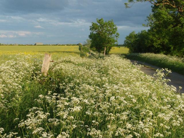 Cow Parsley In Full Flower