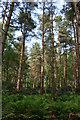 SJ5450 : Moss Wood, near Deer Park Mere by Espresso Addict