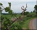 SE2901 : Dead tree on Pinfold Hill by Steve  Fareham