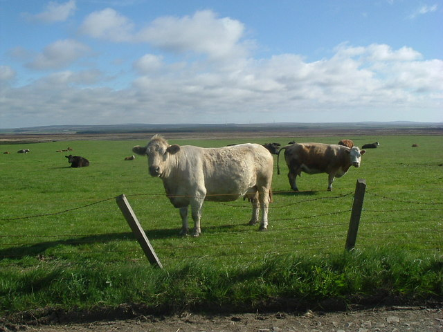 Cattle near Myrelandhorn