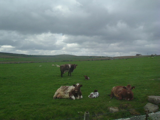 Cattle at Skiall