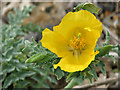 TG0844 : Yellow Horned Poppy (Glaucium flavum) - detail by Evelyn Simak