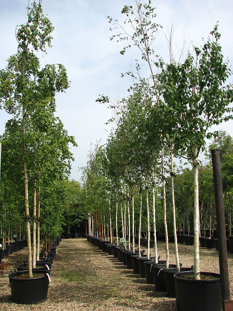 mature trees for sale ireland
